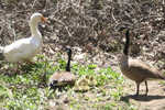 A pair of Canadian Geese and their goslings greet a domestic goose on the bank of the Mantua Creek opposite Clay Hill.