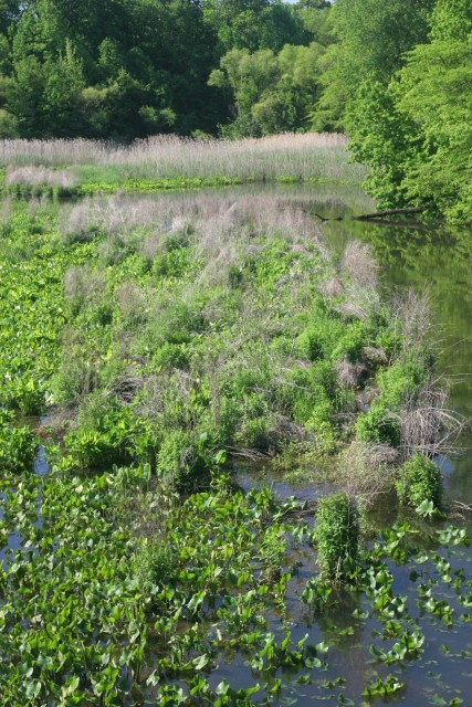 An area of loosestrife infestation, located south of the Mantua Avenue bridge.
