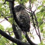 A barred owl (Strix varia) slumbers on a rainy morning near Wenonah Lake.