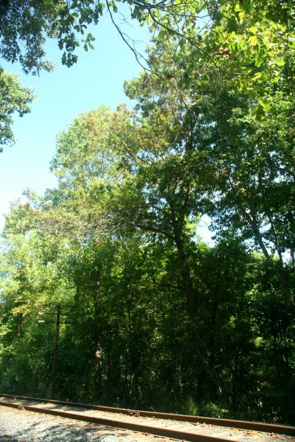 Shingle Oak trees growing in the conservation area along the railroad tracks.  Within New Jersey, this species exists naturally only in Wenonah!