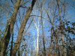 Sycamore along the Mantua Creek Trail