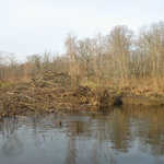 A new (or renovated) beaver lodge seen in December 2006.
