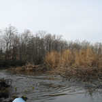 Renewed beaver activity spotted by local kayaker Debbie Mix on the Manuta Creek downstream of Clay Hill in December 2006.