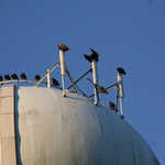 These black vultures take commanding perches on the water tower and its cellular antennae.