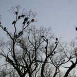 As daylight fades, the vultures fly tree-to-tree until they reach their nighttime roost.